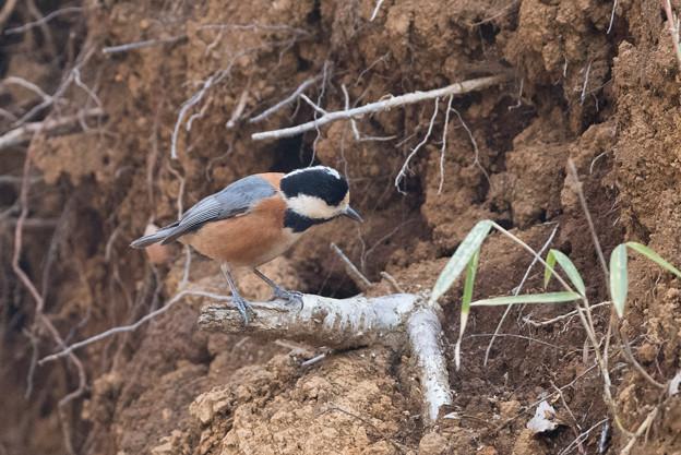 写真: 薬師池公園の野鳥【ヤマガラ】