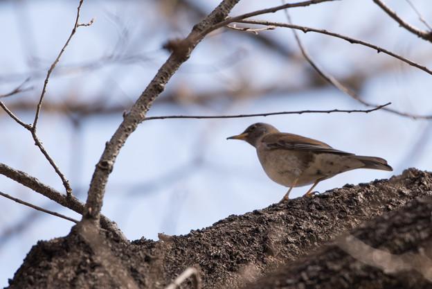 薬師池公園の野鳥【シロハラ】