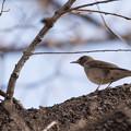 写真: 薬師池公園の野鳥【シロハラ】