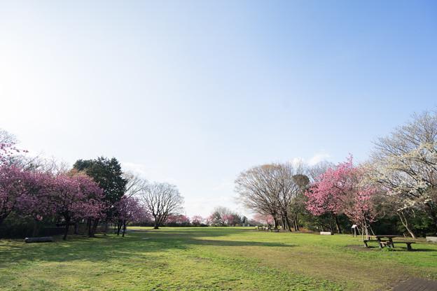 本牧山頂公園【横浜緋桜の眺め】1