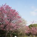 本牧山頂公園【横浜緋桜の眺め】4