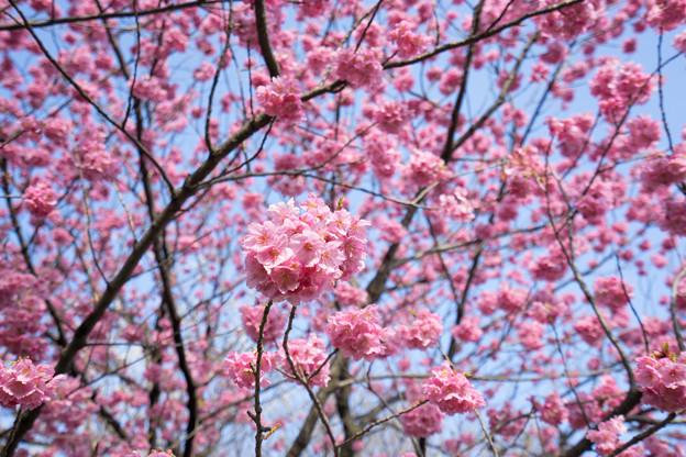 本牧山頂公園【桜:横浜緋桜】3