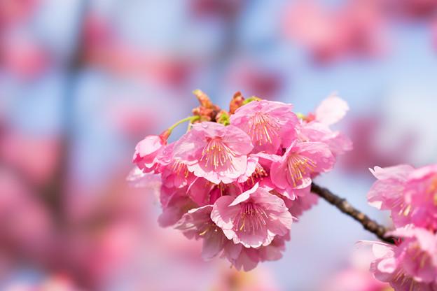 本牧山頂公園【桜:横浜緋桜】6