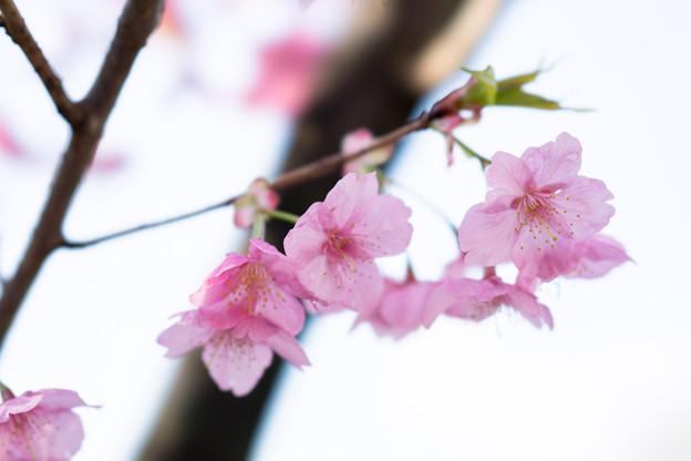 本牧山頂公園【桜:横浜緋桜】8