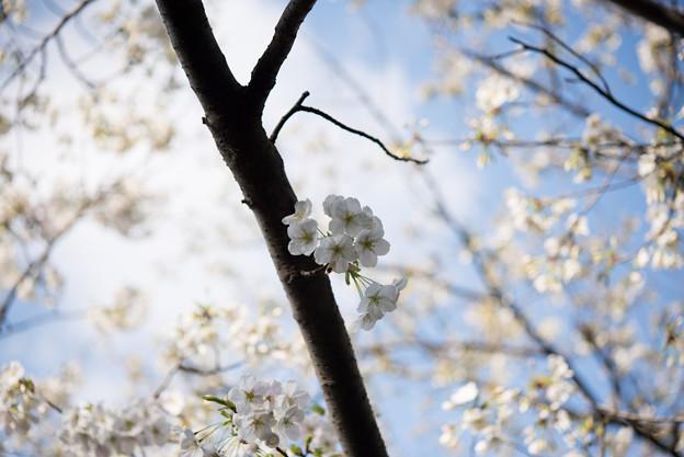 本牧山頂公園【桜:大島桜】1