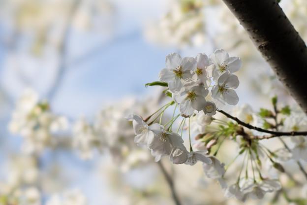 本牧山頂公園【桜:大島桜】3