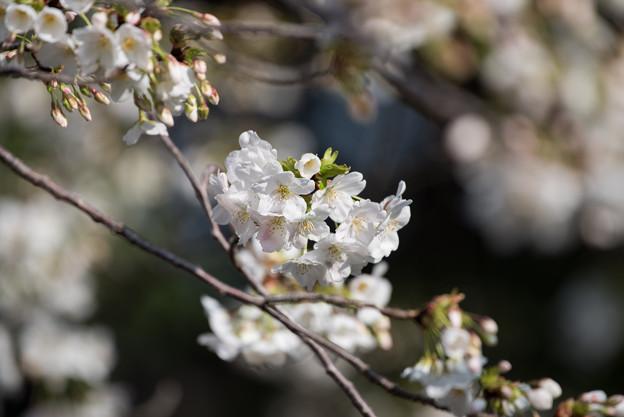 本牧山頂公園【桜:大島桜】4