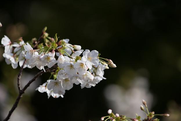 本牧山頂公園【桜:大島桜】7