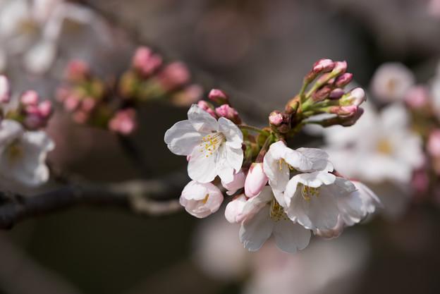 本牧山頂公園【桜:染井吉野】1