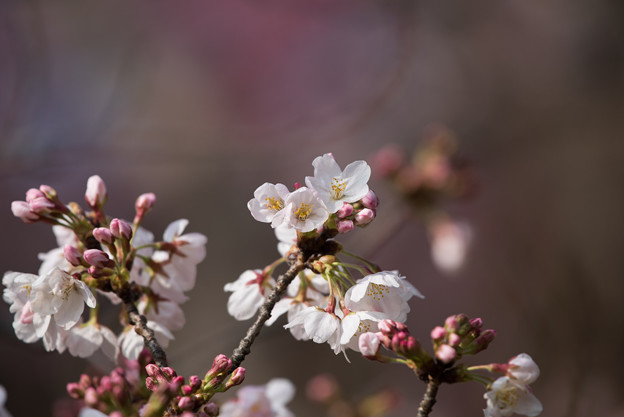 本牧山頂公園【桜:染井吉野】3
