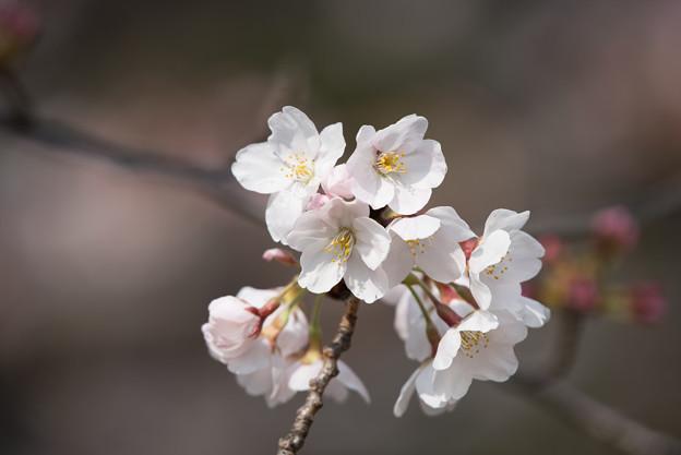 本牧山頂公園【桜:染井吉野】4