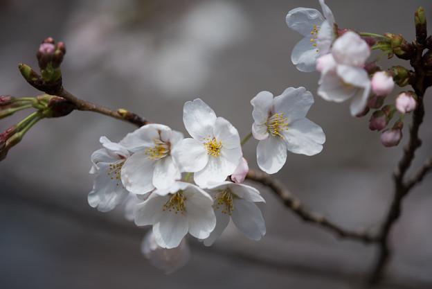 本牧山頂公園【桜:染井吉野】5
