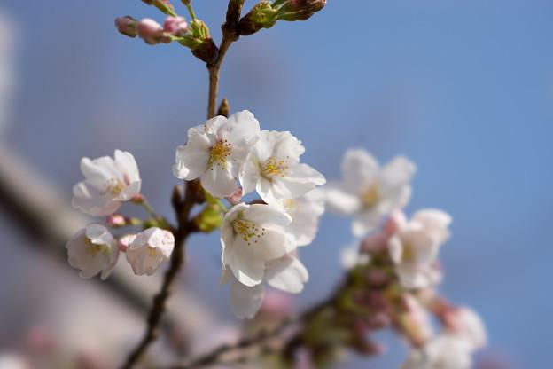 本牧山頂公園【桜:染井吉野】6