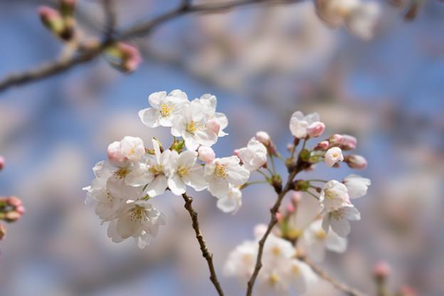 本牧山頂公園【桜:染井吉野】8