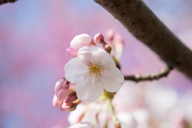 本牧山頂公園【桜:染井吉野】9