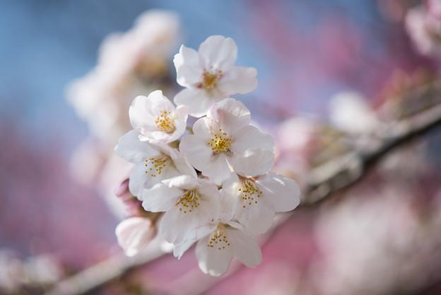 本牧山頂公園【桜:染井吉野】10