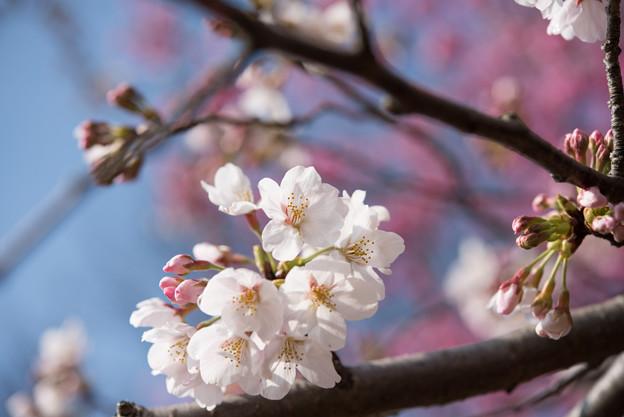 本牧山頂公園【桜:染井吉野】12