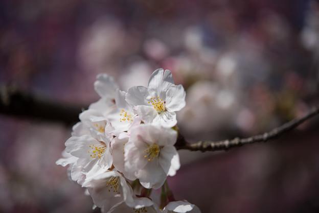 本牧山頂公園【桜:染井吉野】13