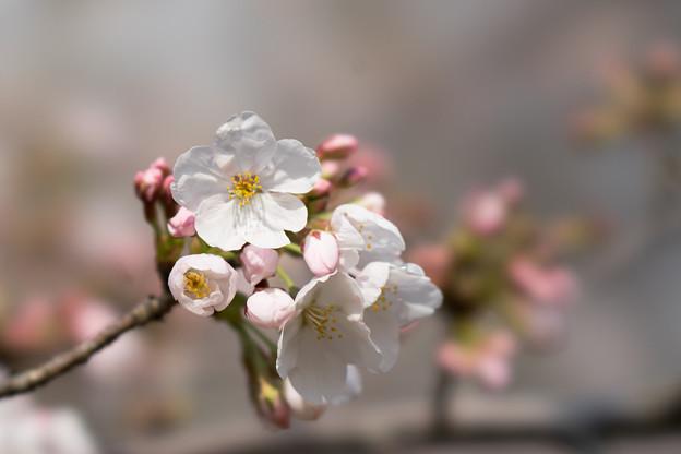 本牧山頂公園【桜:染井吉野】15