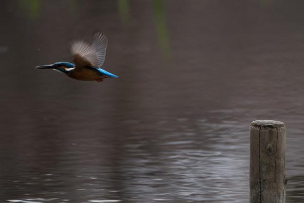 泉の森公園【野鳥:カワセミ】1-2