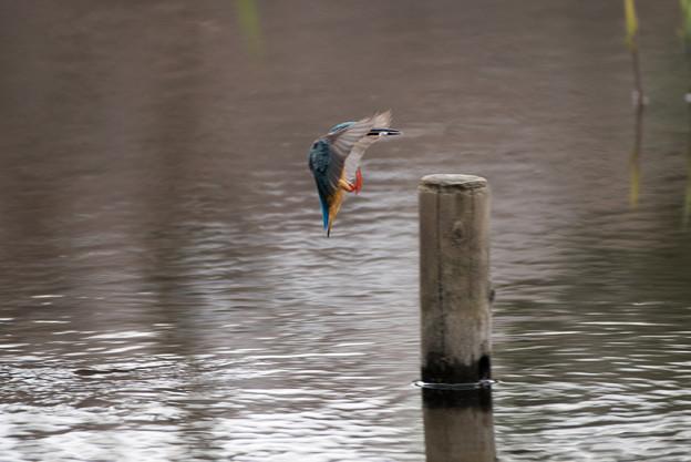 泉の森公園【野鳥:カワセミ】1-3