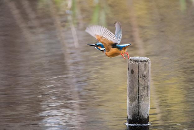 泉の森公園【野鳥:カワセミ】2-2