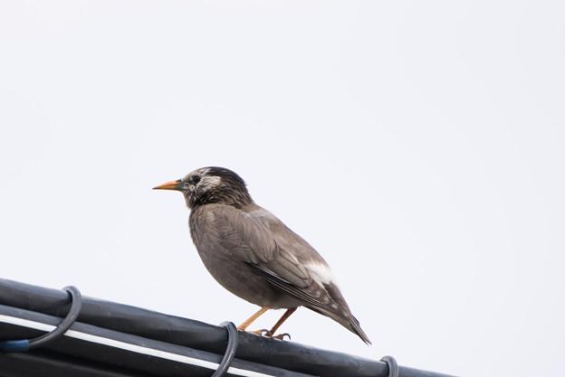 泉の森公園【野鳥:ムクドリ】