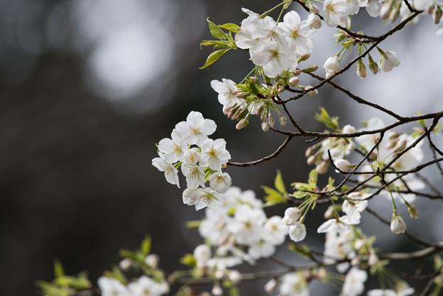 泉の森公園【桜:大島桜】1