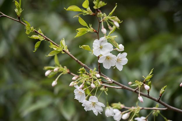 泉の森公園【桜:大島桜】2