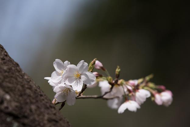 泉の森公園【桜:染井吉野】2