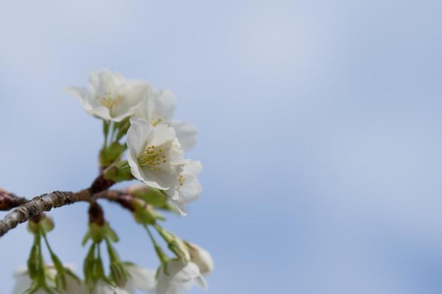 テリタビーズ公園【大島桜】3