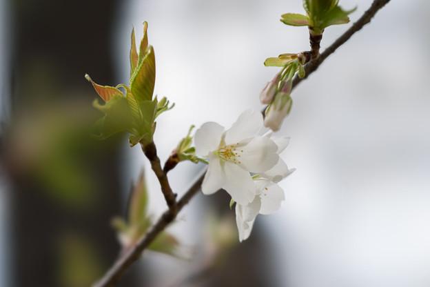 テリタビーズ公園【大島桜】4