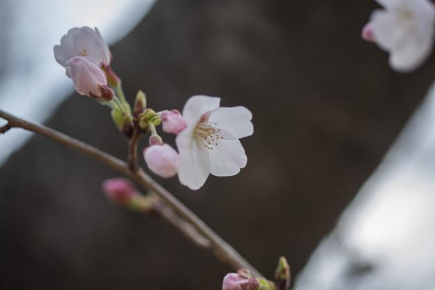テリタビーズ公園【染井吉野】5