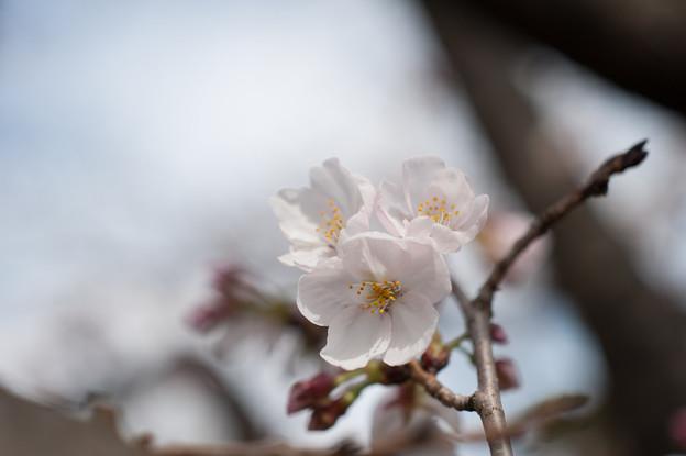 テリタビーズ公園【染井吉野】9