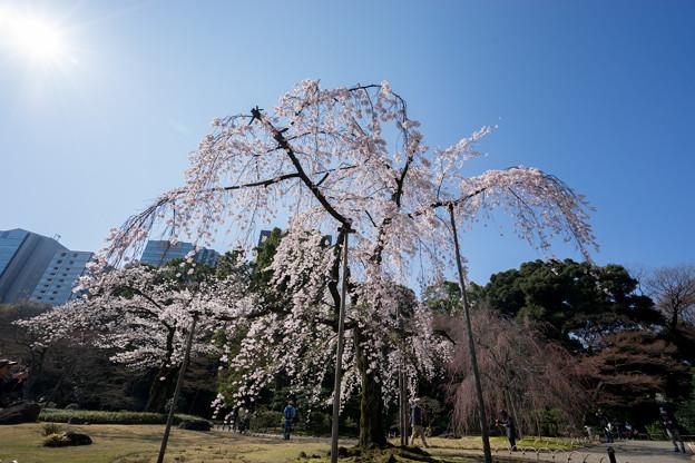 小石川後楽園【枝垂桜:馬場桜】1