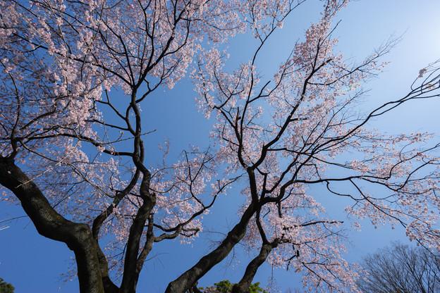 小石川後楽園【枝垂桜:大堰川沿い】2