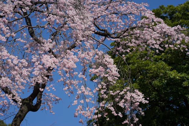 小石川後楽園【枝垂桜:大堰川沿い】3