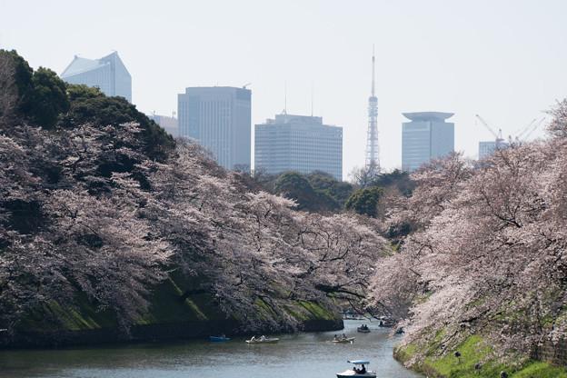 【千鳥ヶ淵の桜】2
