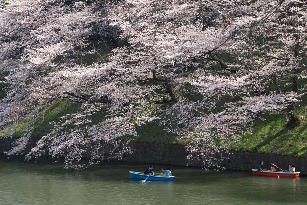 【千鳥ヶ淵の桜】6