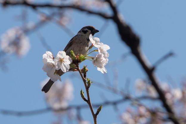 【千鳥ヶ淵の桜に集う雀】2