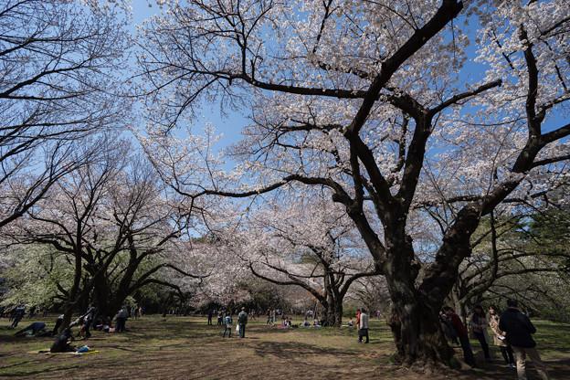 新宿御苑【桜園地の桜の様子】1