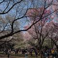 Photos: 新宿御苑【桜園地の桜の様子】3