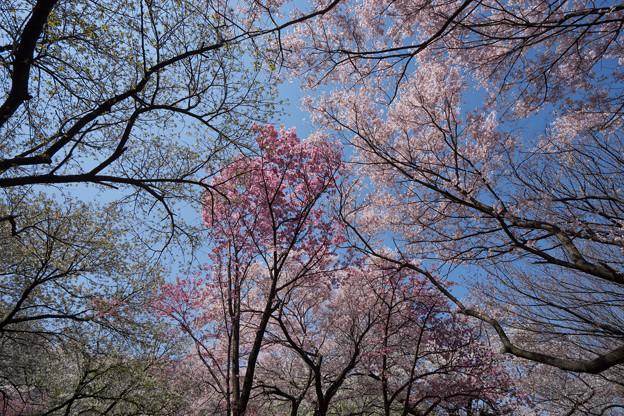 新宿御苑【桜園地の桜の様子】7
