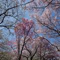 Photos: 新宿御苑【桜園地の桜の様子】7