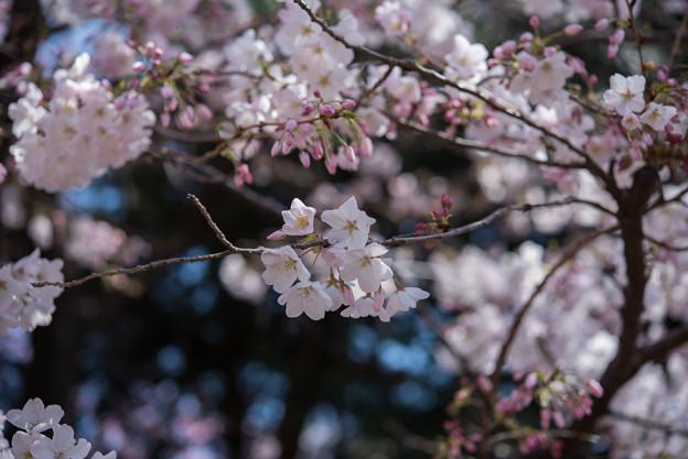 新宿御苑【桜:アメリカ】2