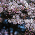 Photos: 新宿御苑【桜:アメリカ】2