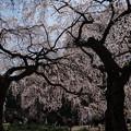 Photos: 新宿御苑【桜:枝垂れ桜】1