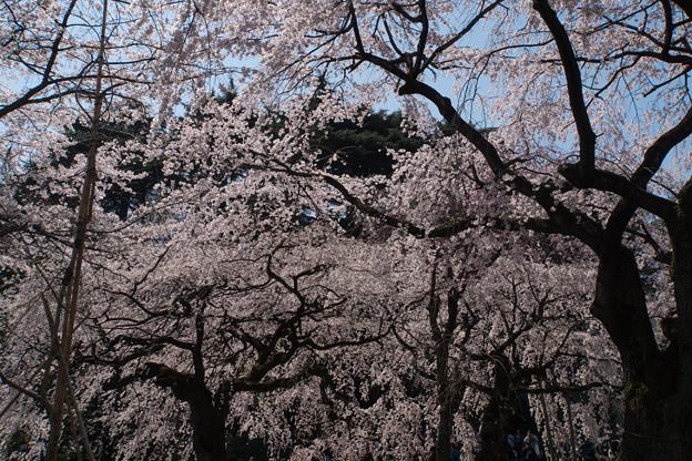 新宿御苑【桜:枝垂れ桜】3