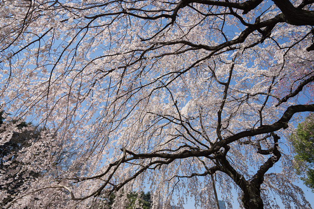Photos: 新宿御苑【桜:枝垂れ桜】4
