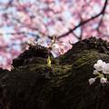 Photos: 新宿御苑【桜:染井吉野】3